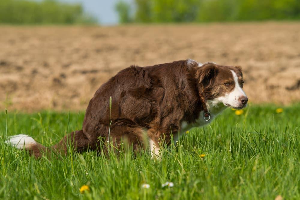 Coccidia symptoms in dogs includes diarrhea