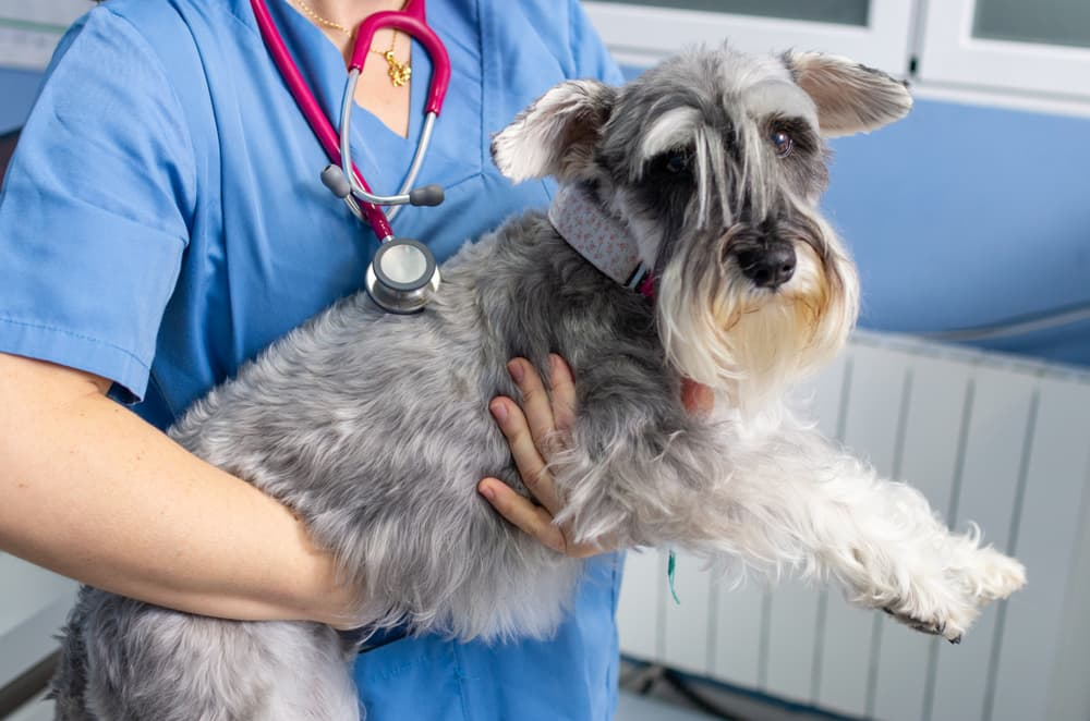 Dog with xylitol poisoning at vet