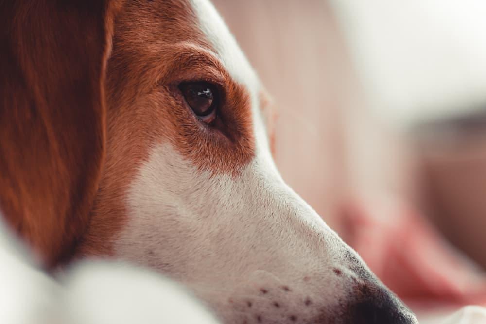 Closeup of dog eye