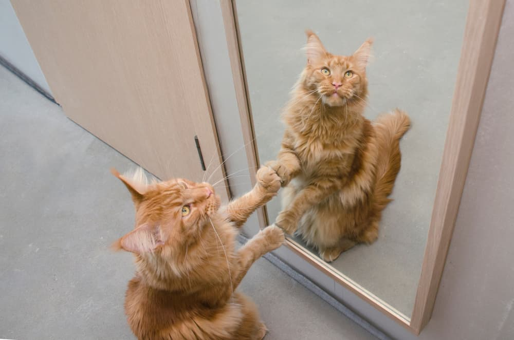 cat scared of mirror
