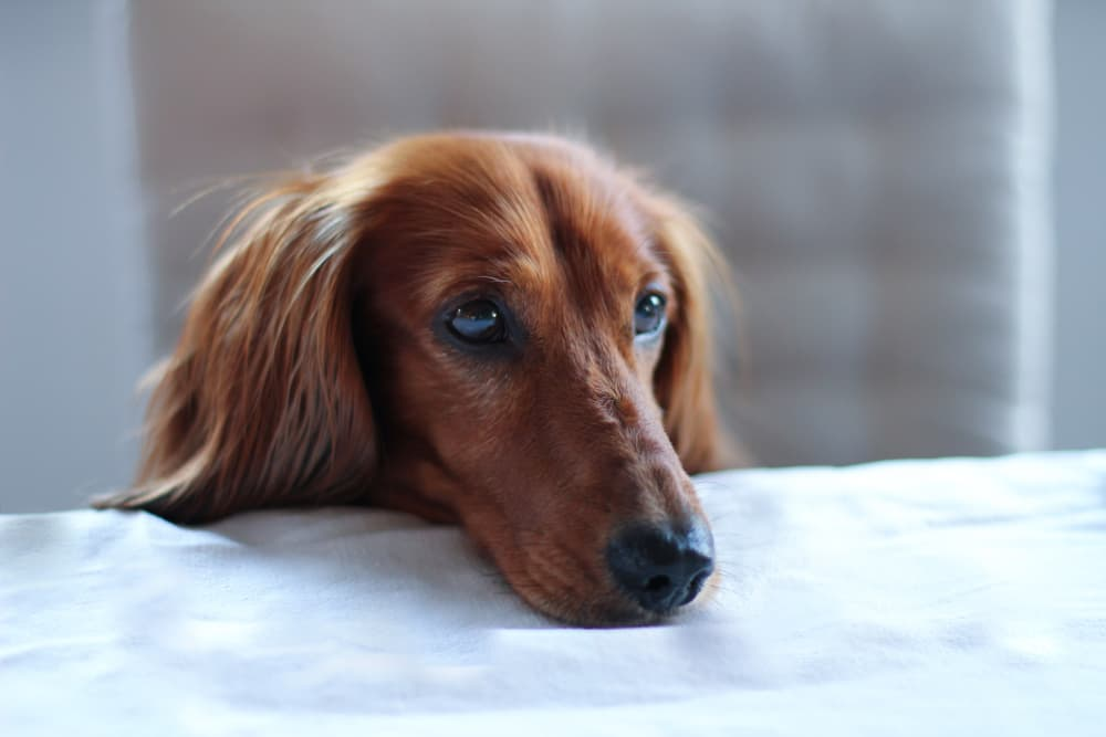 Dachshund begging for food