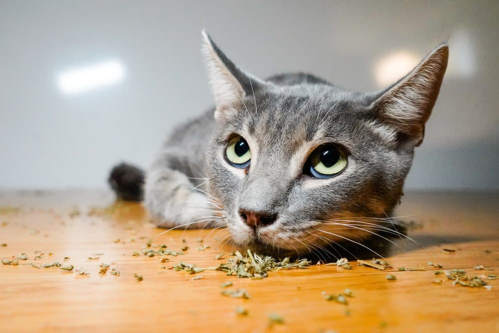 Cat with dried catnip on the floor