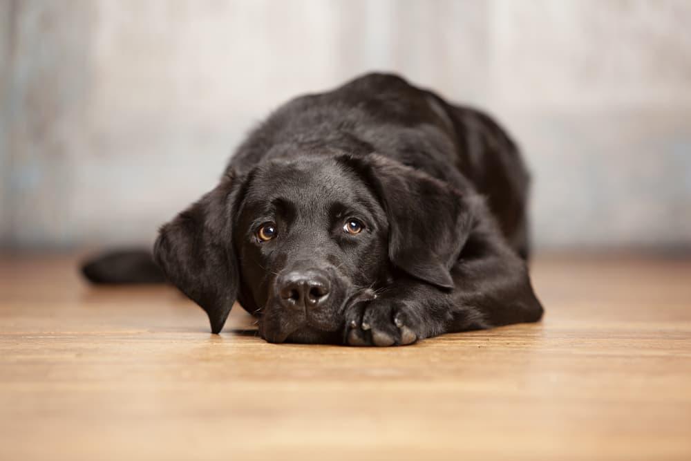 Black Labrador lying on the floor