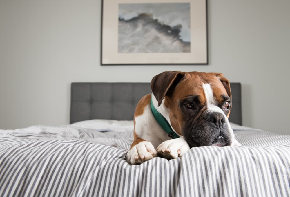 Boxer dog on bed