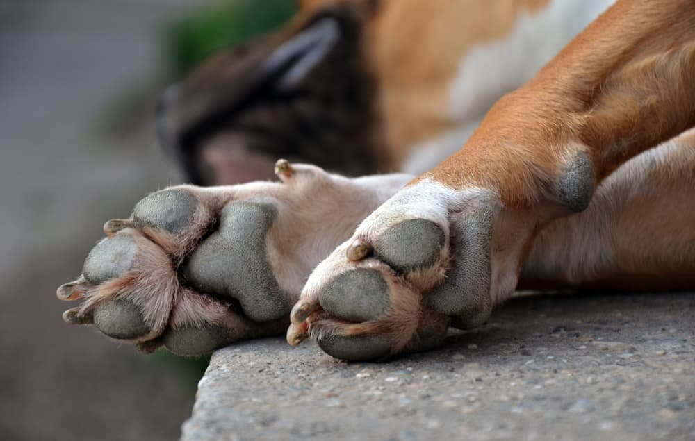 Dog with symptoms of paw swelling