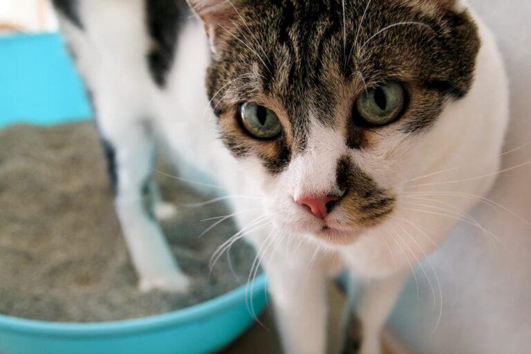 Cat using the litter box