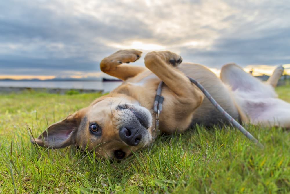 Dog rolling around in long grass