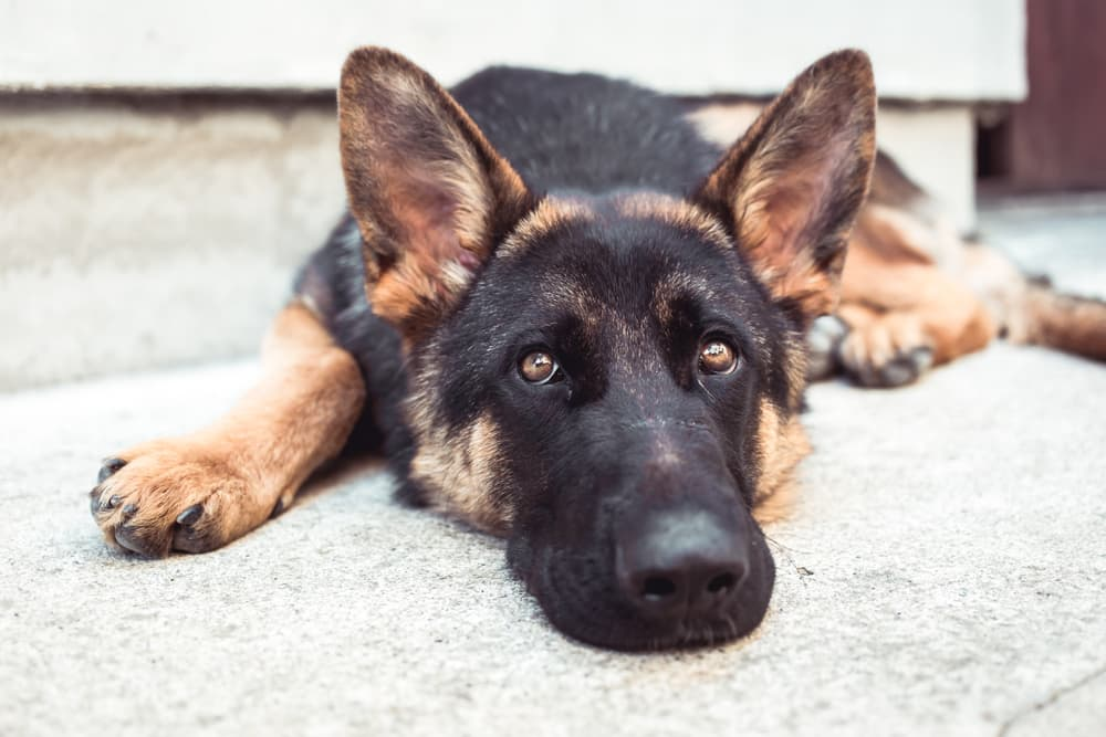 German Shepherd laying down on stoop