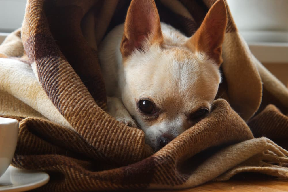 Dog laying in blanket looking sad