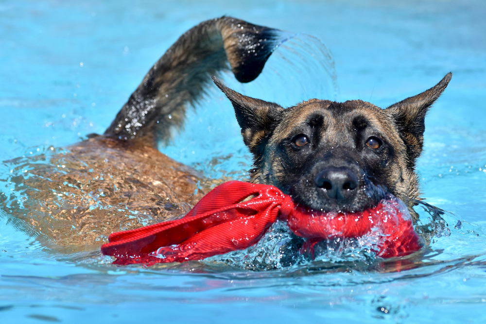 Dog swimming with toy in a pool