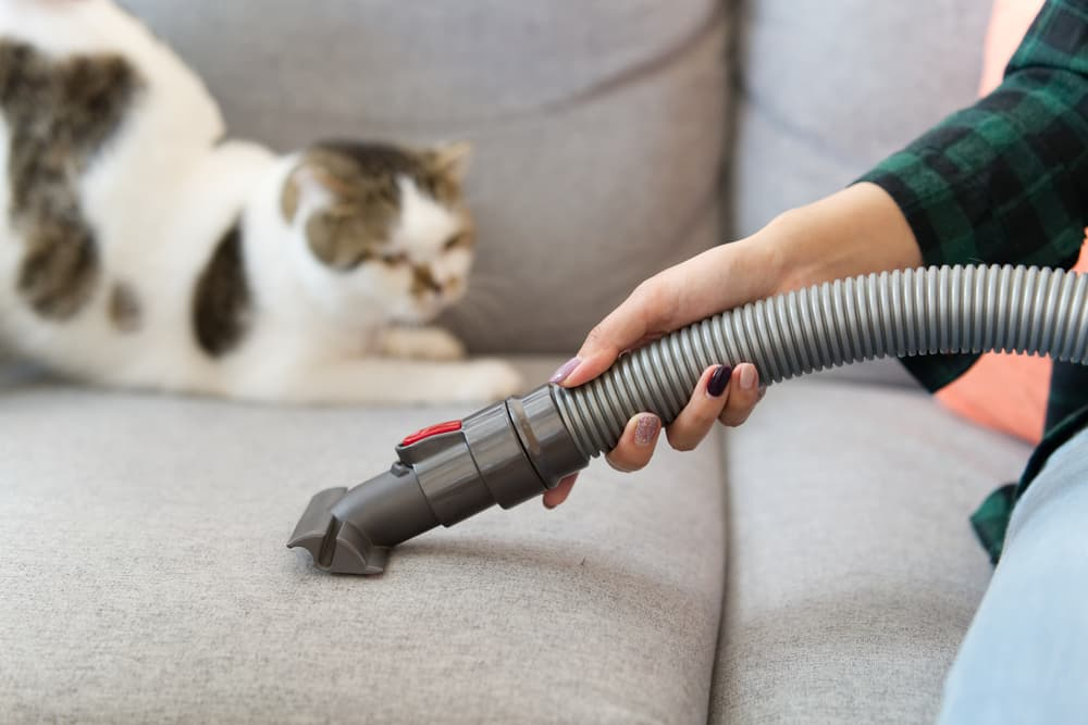 Woman vacuuming the couch next to a cat stretching in the background