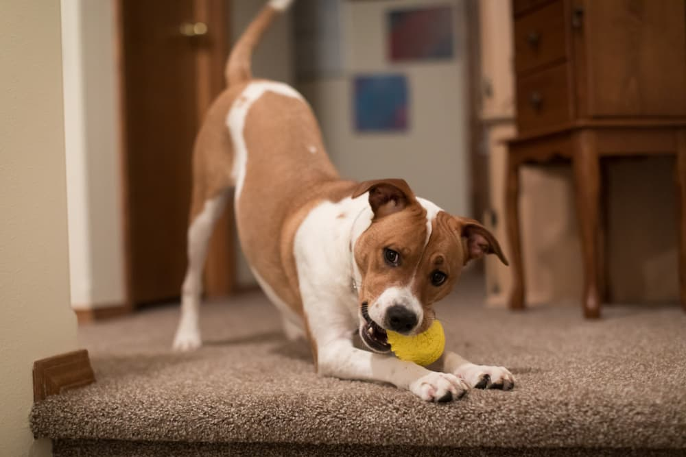 Dog playing indoors with ball