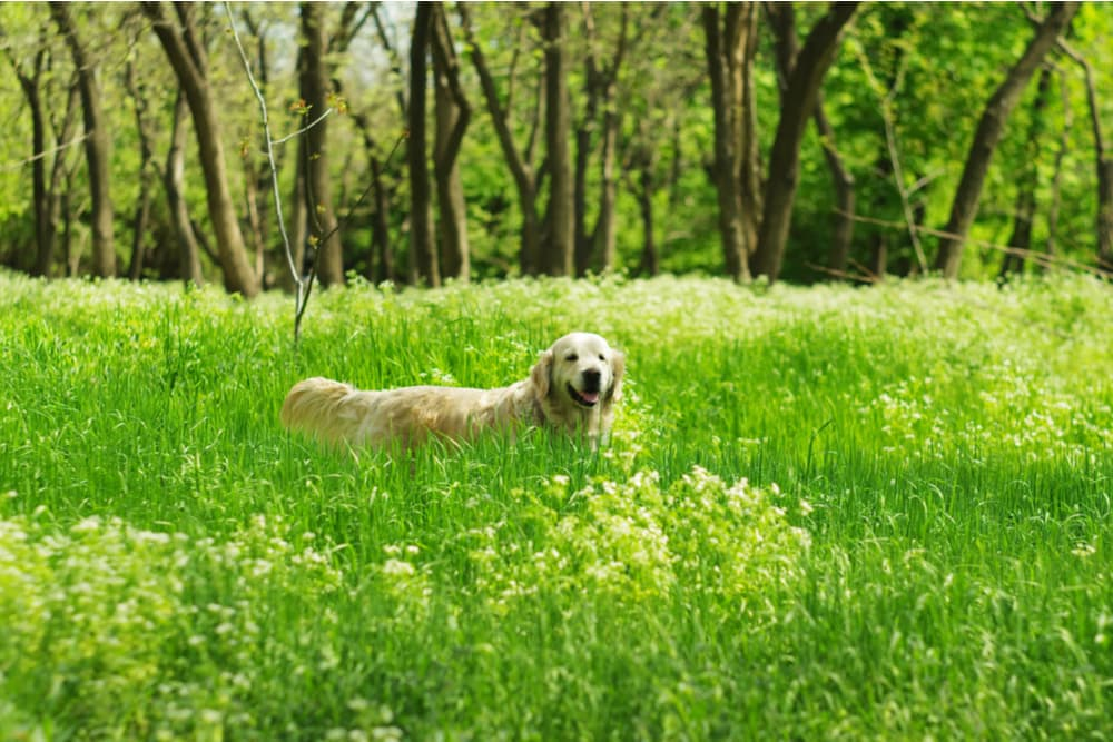 Dog playing in a high grass field