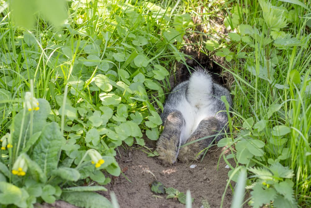 Bunny going into its burrow