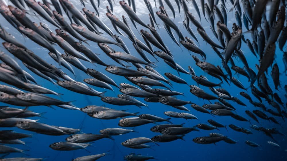 sardines swimming in the ocean