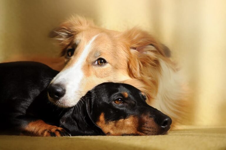 Two dogs at home snuggling