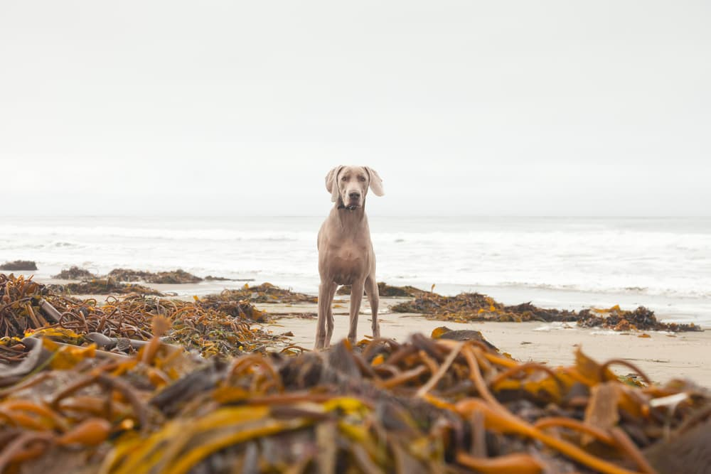 Dog on beach with kelp