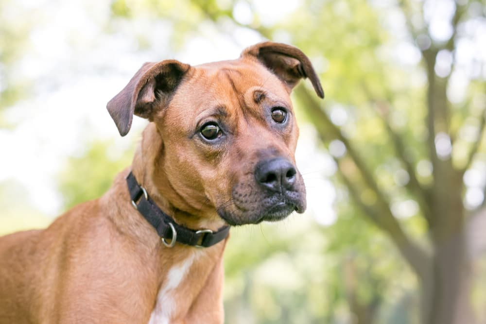 Adult boxer dog with head tilted