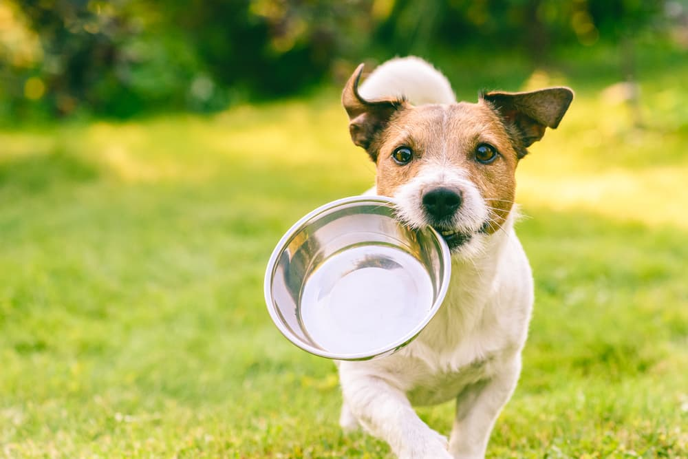 Dog running outdoors with food bowl