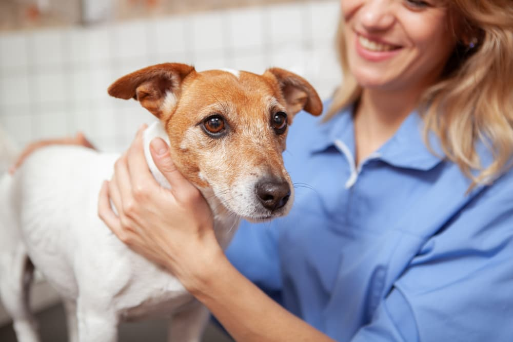 Veterinarian with senior Jack Russell