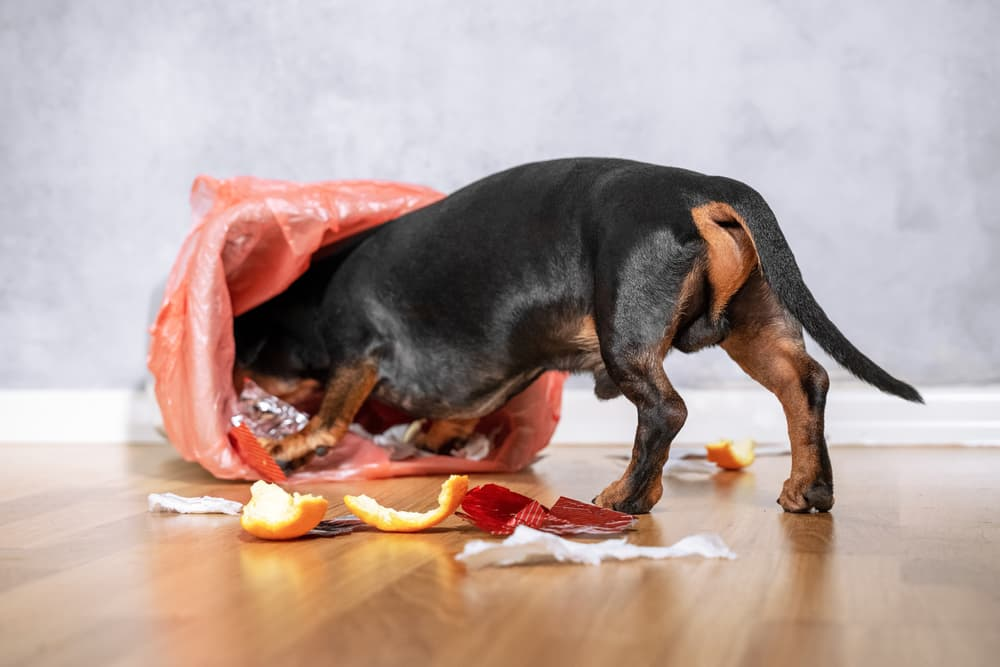 Dachshund dog digging through garbage