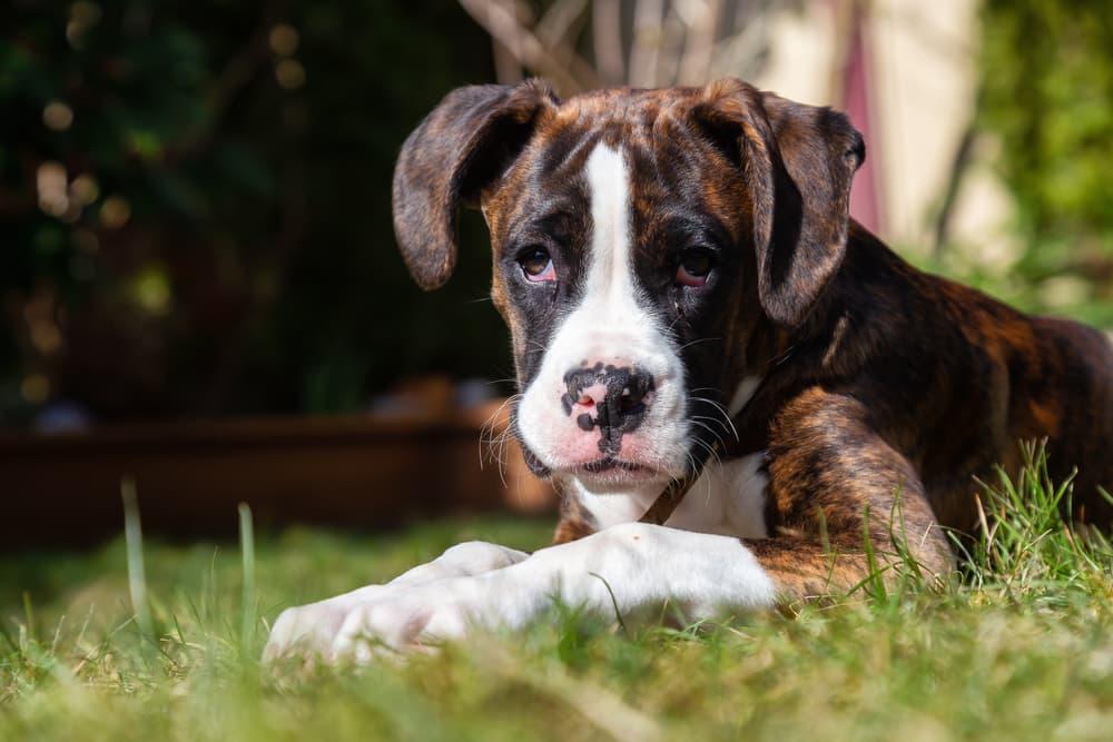 Boxer puppy sitting in grass