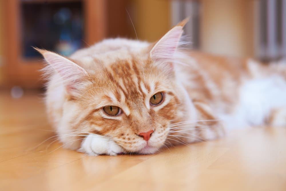 Cat laying on floor looking sad