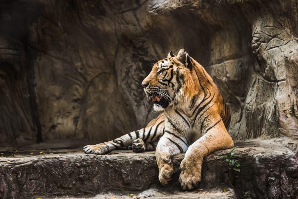 A tiger at a zoo