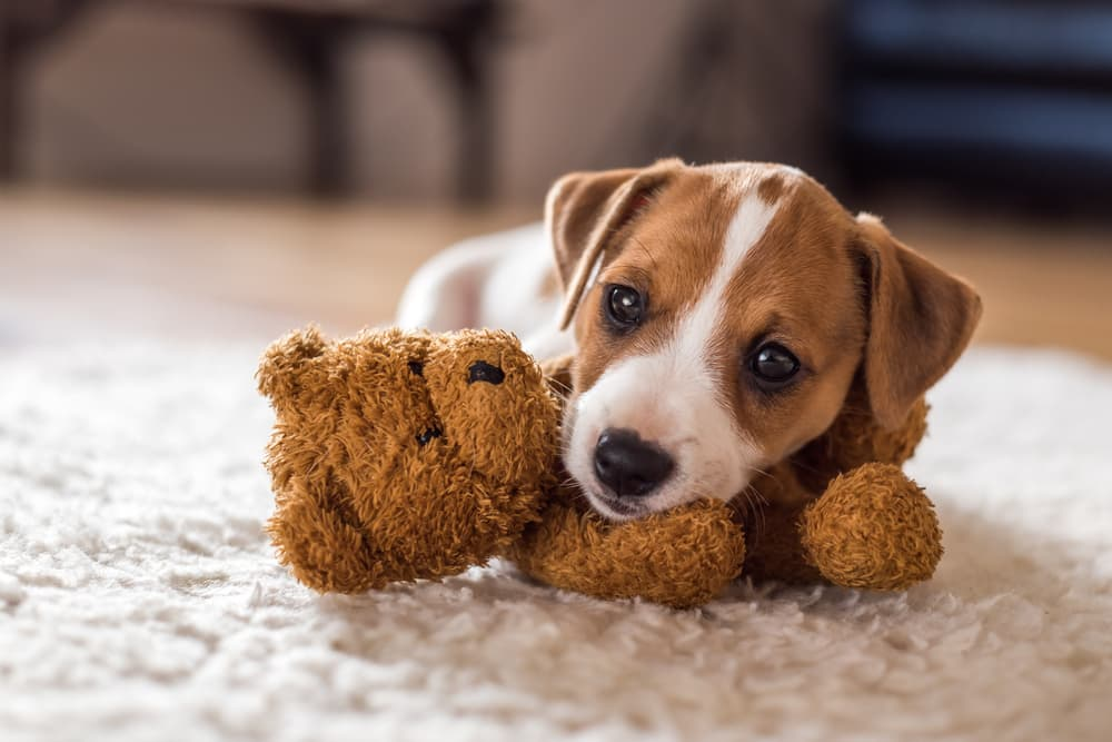 Puppy at home with teddy bear