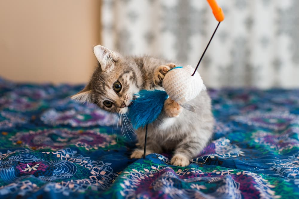 Kitten playing with a wand toy