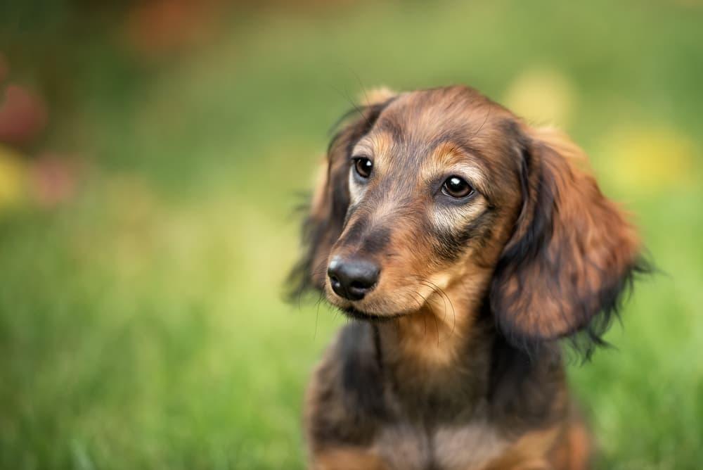 Dachshund puppy sitting outside