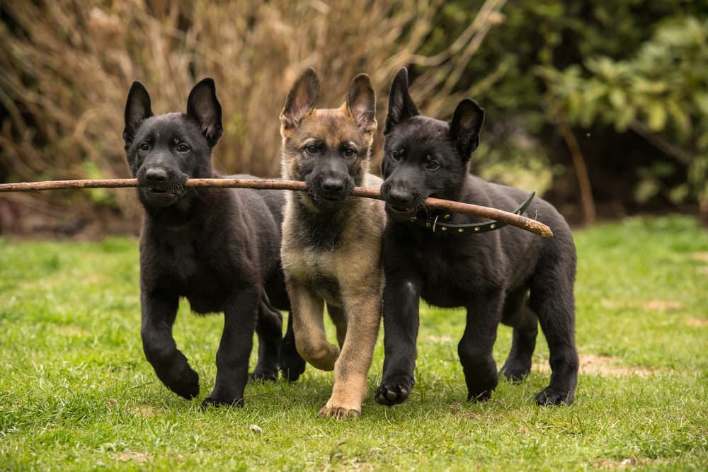 Three dogs walking in a line with a stick