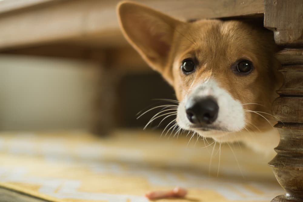 corgi hiding under table
