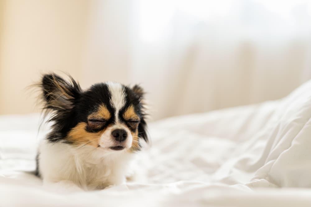 Sleepy Chihuahua on bed