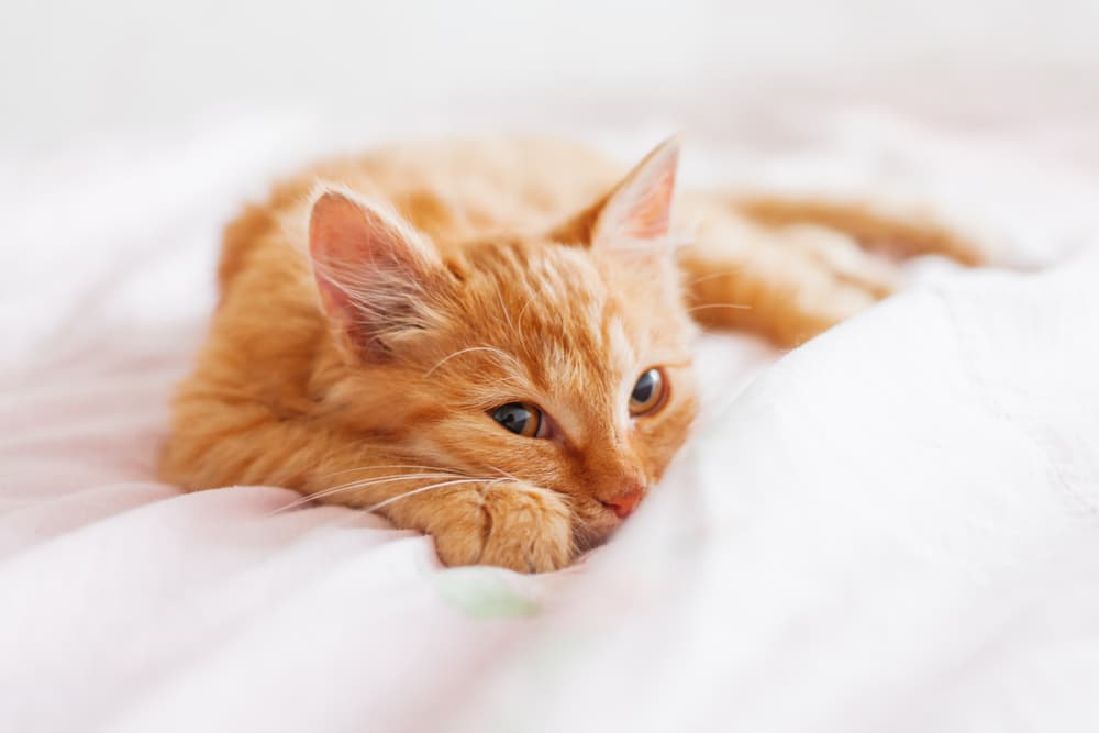 Cat looking at owner laying in bed
