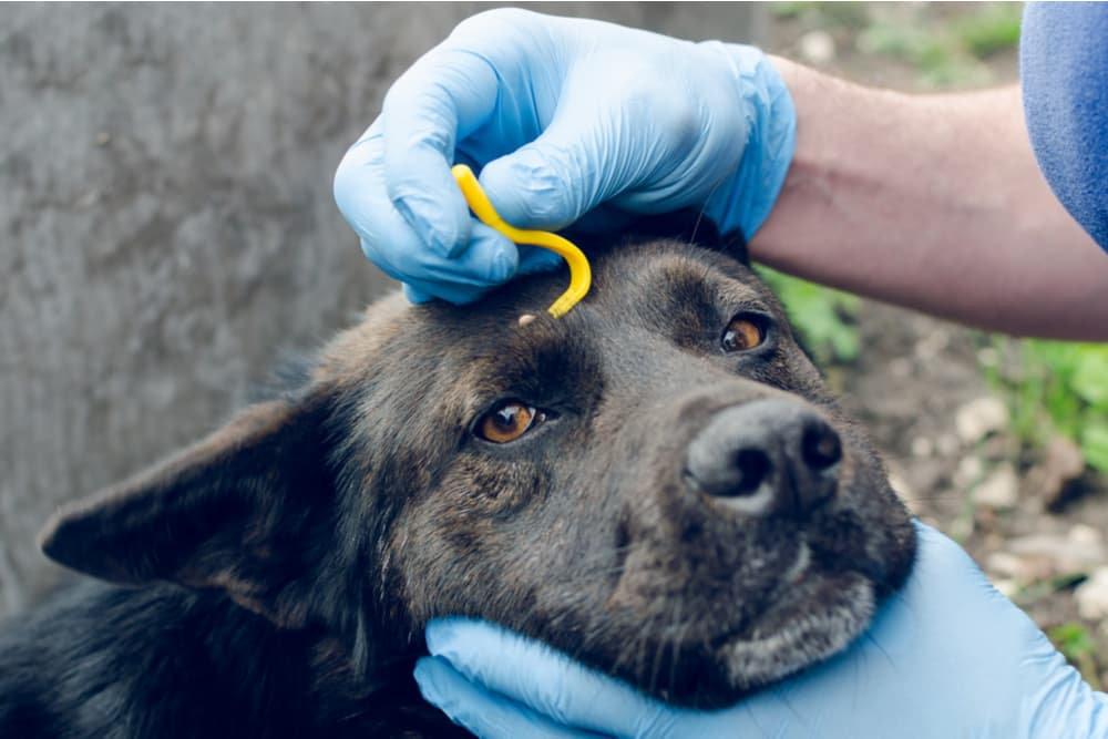 Dog having a tick removal