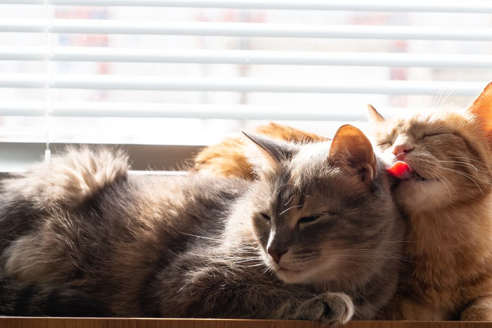 Two cats sitting on a window sill one grooming the other