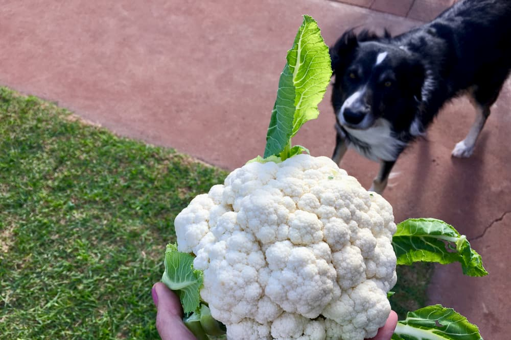 Cauliflower with dog in background