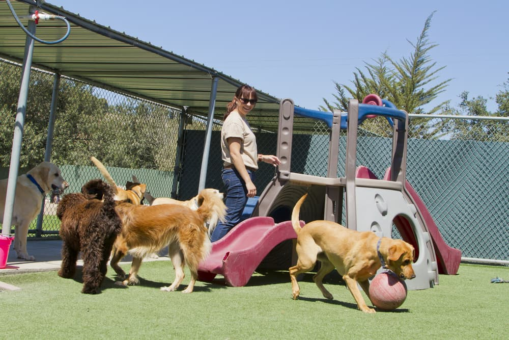 Dogs playing at boarding facility