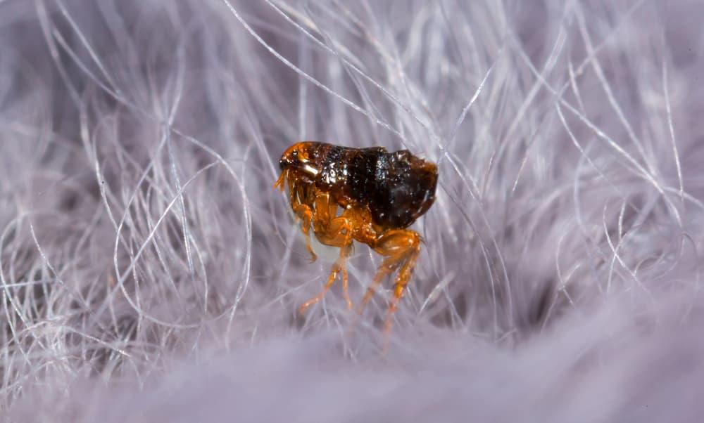 flea in dog hair