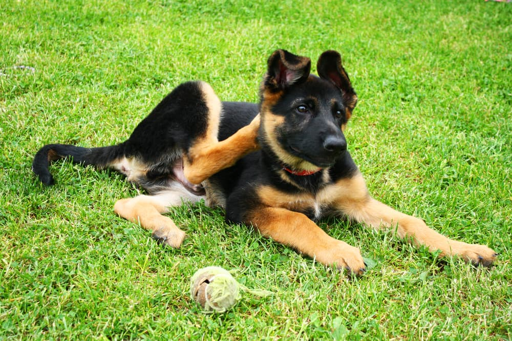 Dog in grass scratching