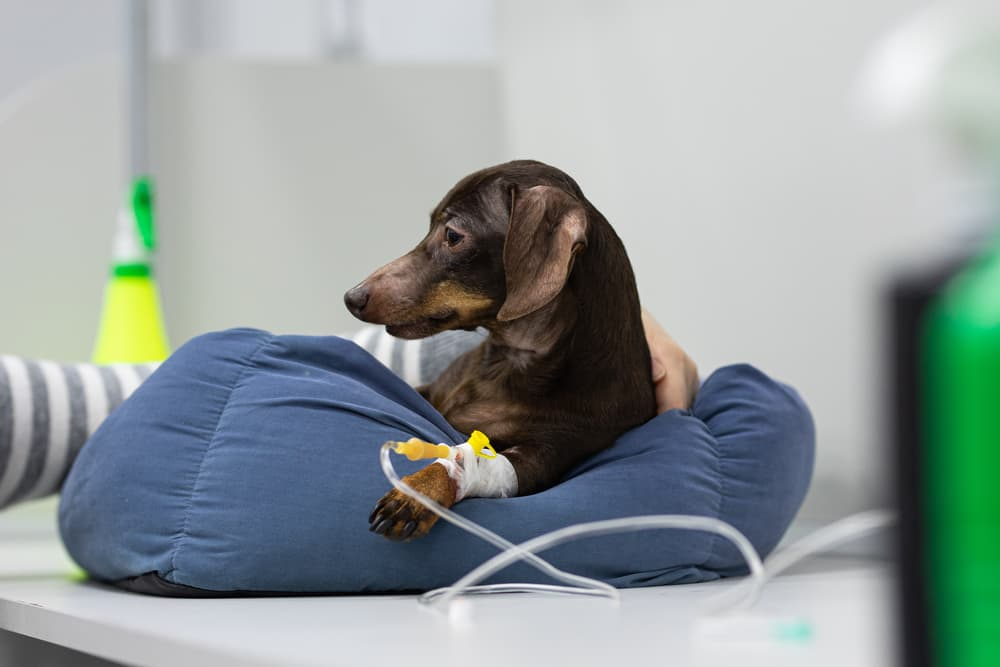 Dog at the vet with an iv