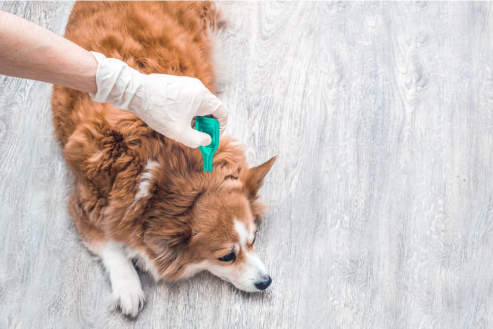 Dog receiving tick treatment from owner