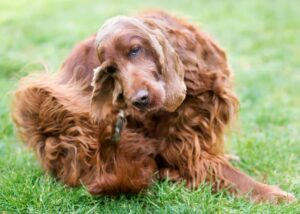 Dog in the grass scratching at fleas