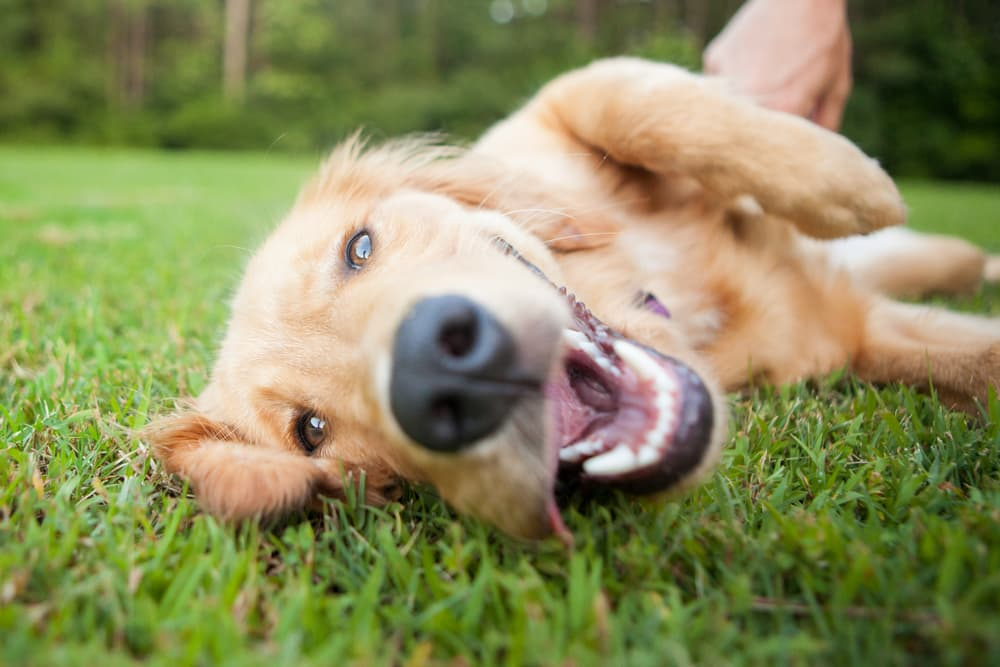 Dog rolling over in the grass