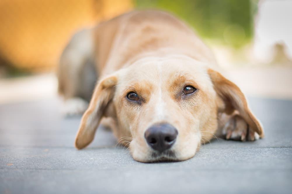 Lethargic dog laying on the ground