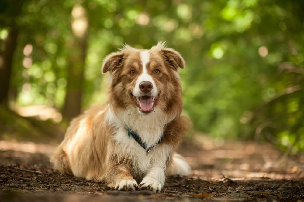 Happy dog laying outside in a forest