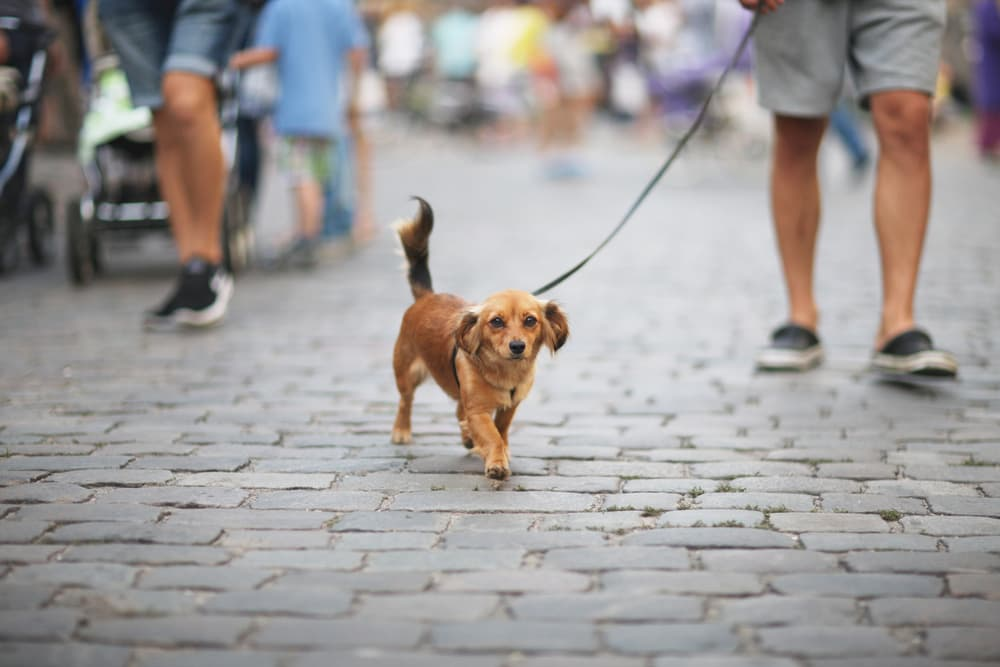 Dog walking with owner through a city