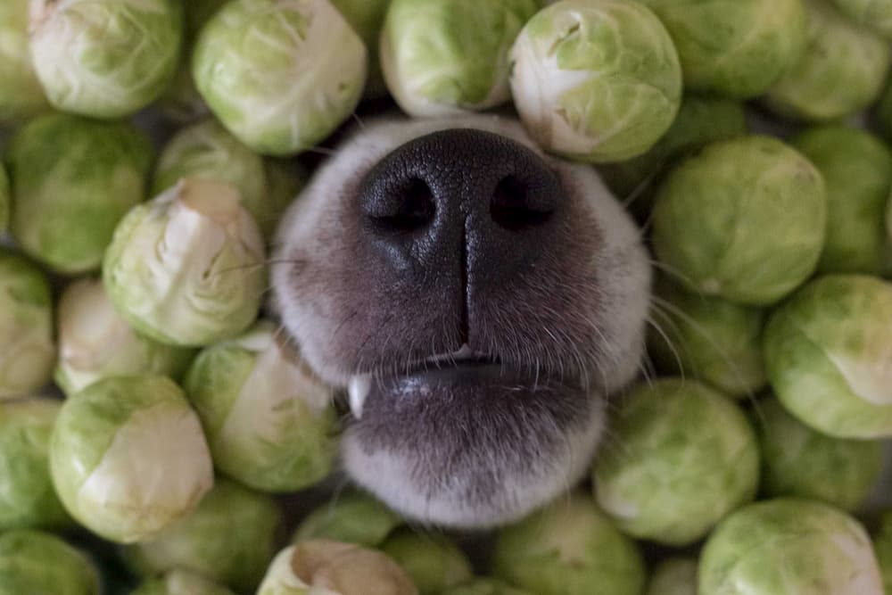 Dog nose poking out of brussel sprouts