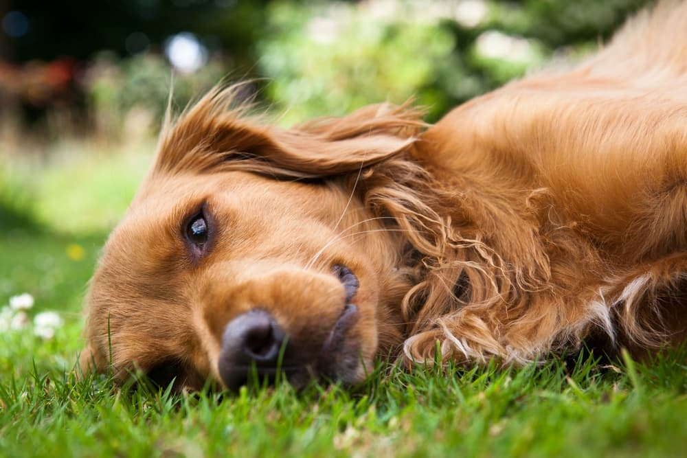 Dog lying in grass looking concerned